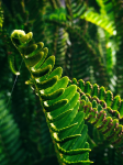Maui Fern